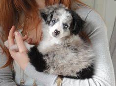 8 week australian shepherd our puppy loki miniature australian shepherd mini aussie blue