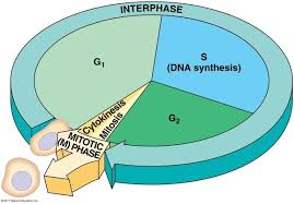 when does dna replication take place quora