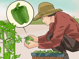 how to grow green bell peppers 15 steps with pictures wikihow