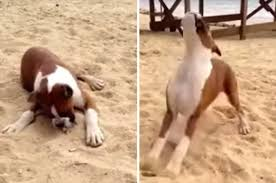 boxer dog uk dog eating sour lemon flips out in hysterical video daily star