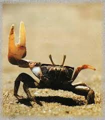 Pleins De Crabe Violonistes Très Viens Jouer Avec Grand Maman