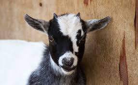 new jersey police arrest disorderly goat modern farmer
