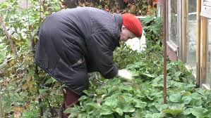 old man working in vegetable garden picking tomato agriculture