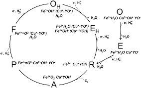 mitochondrial cytochrome c oxidase catalysis coupling and