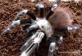 tarantulas bristol spider shop tarantulas bristol is an