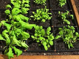 square foot gardening 101 how to plant a square foot garden