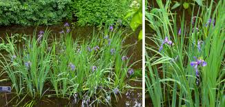 Sweet Flag Grass Herbaceous Plant Id Exam Cram U2013 The Growing Season