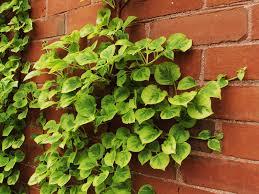 miranda climbing hydrangea plant library pahl u0027s market apple