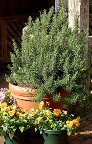 How To Save A Dying Plant Growing Rosemary Bonnie Plants
