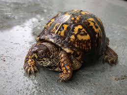 Texas Map Turtle Box Turtle All Turtles