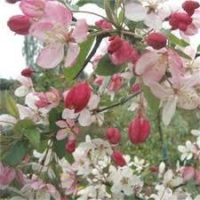Profusion Flowering Crabapple - malus floribunda buy japanese flowering crab apple trees