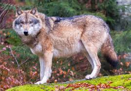 Alabama National Parks images File grey wolves in bavarian forest national park cropped jpg jpg