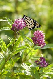 monarch architecture 331 best monarch butterflies images on pinterest monarch