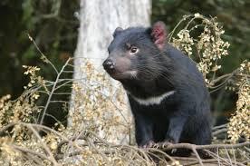imagenes animales australia animales de tasmania australia esos animales tan extraños el