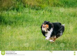 australian shepherd vocal shetland sheepdog sheltie collie play outdoor in summer grass