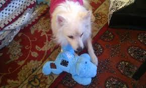 american eskimo dog rescue indiana white dog diary online december 2012