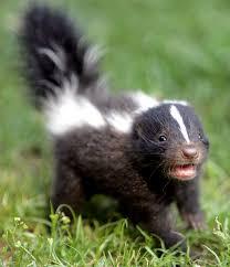 baby skunks the official of walden media