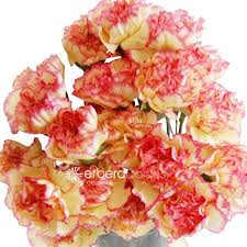 bulk carnations bulk flowers bicolor yellow pink edge carnations