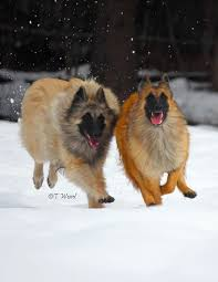 belgian shepherd breeds 56 best belgian tervuren images on pinterest belgian shepherd
