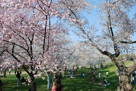 cherry tree gift from japan life and real estate on the eastern