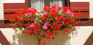 geranien balkon gartentipp blütenreiche geranien durch gute pflege