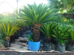 plant sale plants trees flowers northern pretoria gumtree