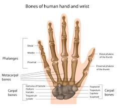 Anatomy Of Human Body Bones Pic And Part Of Human Bone Body Hip Area Part Human Body Bone