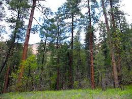 Arizona forest images Ponderosa pine and the coconino national forest of arizona jpg