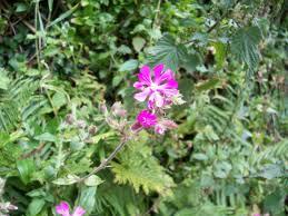 native uk plants hooters hall hedgerow