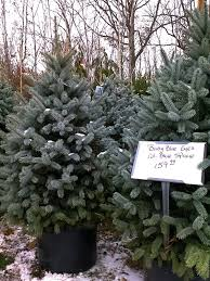 live christmas tree diy plant your christmas tree in the garden gardenista
