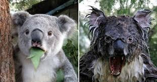 Angry Koala Meme - angry koala bears
