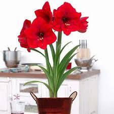 Amaryllis Flowers Red Amaryllis Flower Bulbs Garden Plants U0026 Flowers The