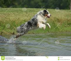 australian shepherd jumping up boston terrier stock images image 34689204