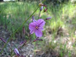 what plants are native to australia dichopogon strictus wikipedia