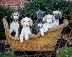 afghan hound rescue north carolina siberian husky specials almonds and eyes