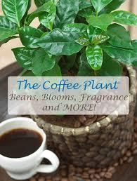 Fragrant Indoor House Plants - best 25 coffee plant ideas on pinterest coffee bean tree