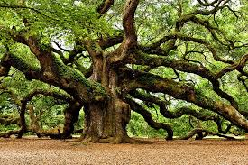 the oak tree in mythology symbolic meaning