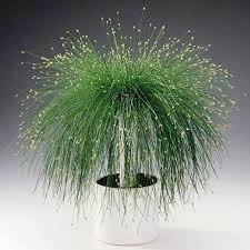5 isolepis cernua live wire ornamental grass seeds fiber optic