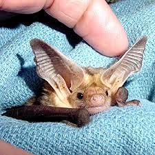 small bat small bat big ears baby zoo