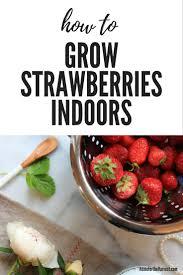 growing strawberries indoors grow strawberries plants and winter