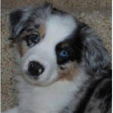 australian shepherd in spanish little ranch dogs miniature australian shepherd breeder in