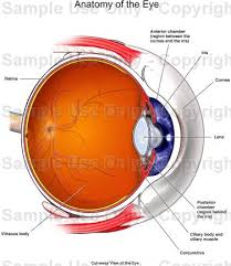 Anatomy Of The Eye Anatomy Of The Eye Medical Illustration Human Anatomy Drawing