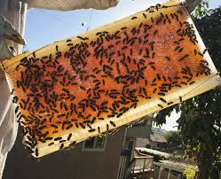 Harvesting Honey From A Top Bar Hive Beekeeping Like A Is The Flowhive Bad For Bees