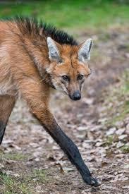 maned wolf size comparison rare photos animals pinterest