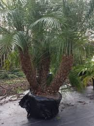 purchase pygmy date palm trees in houston for sale