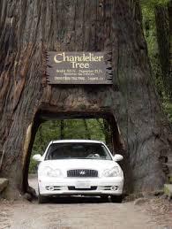 Chandelier Tree California Chandelier Tree Leggett California Atlas Obscura