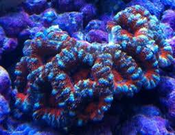 coral in manhattan beach ca