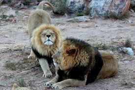imagenes de leones salvajes gratis fotos gratis fauna silvestre zoo mamífero león animales
