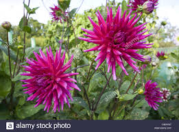 dahlias flowers dahlias flowers growing on allotment in the uk stock photo