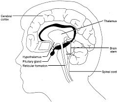 Part Of The Brain Stem That Is Involved In Arousal C Windows Desktop Stress 2 Chapter2 Htm